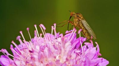 Комарик на цветке